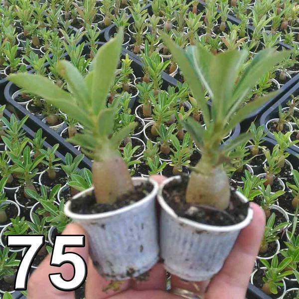 75 mudas de rosa do deserto 3 a 5 meses - cores sortidas Adenium Obesum