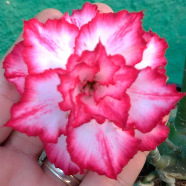 Rosa do deserto tripla matizada ALD-1 - 12 Meses