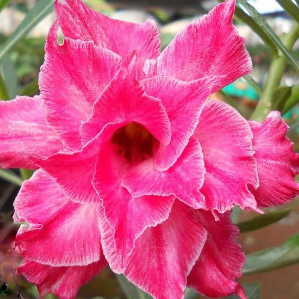 Rosa do Deserto Preta Dobrada L-10 / L10
