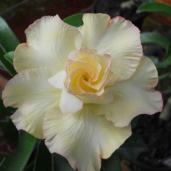 Rosa do Deserto Tripla Amarela L9