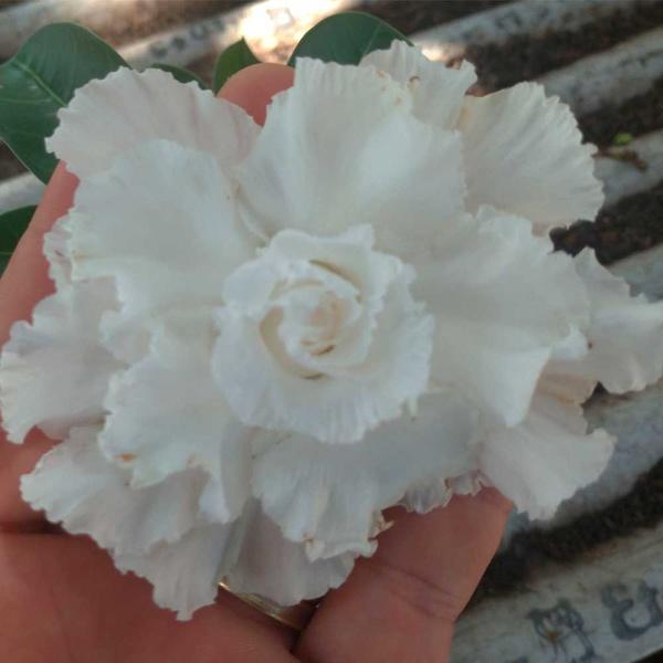Rosa do Deserto Tripla Branca LEA-2