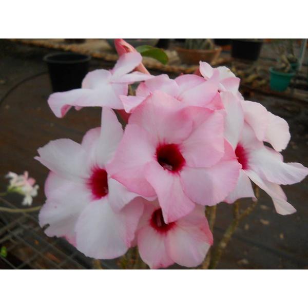 Rosa do Deserto Lucky Pink