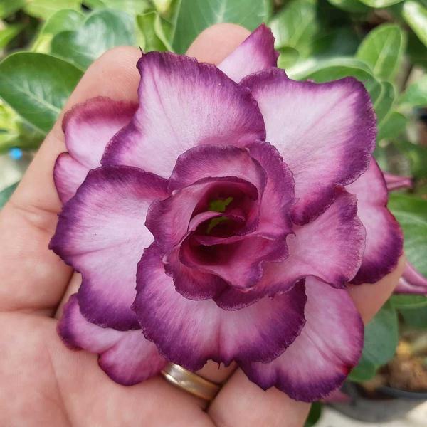 Rosa do Deserto Dobrada Roxa M-66