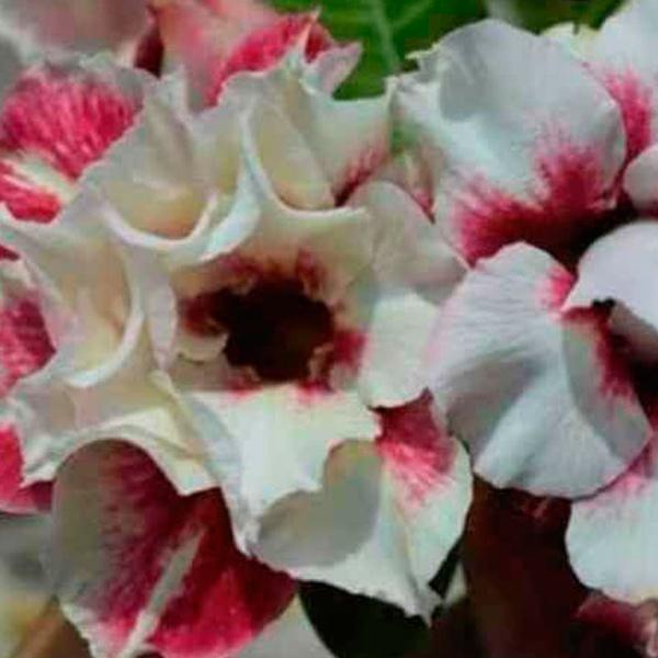 Rosa do Deserto Tripla MANGOSTEEN