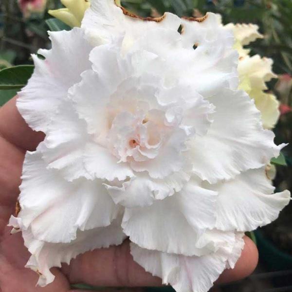 Rosa do Deserto Roxa Tripla Violet