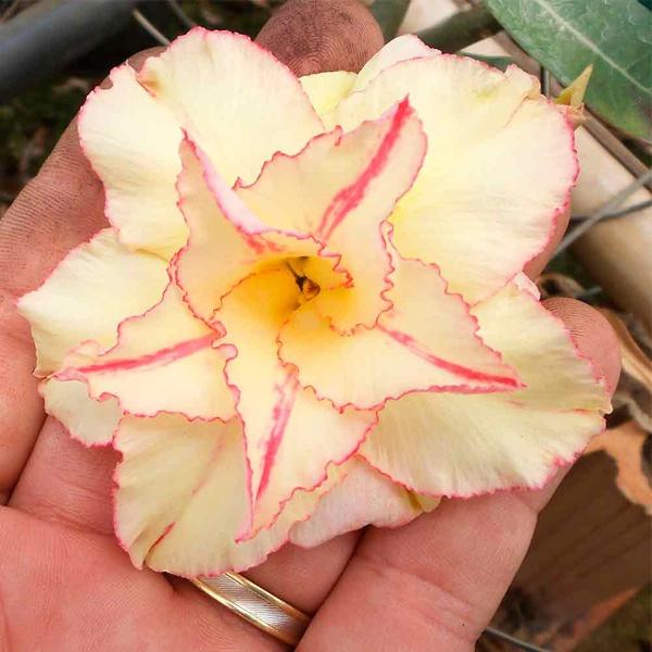 Rosa do deserto amarela dobrada RS - 12 Meses
