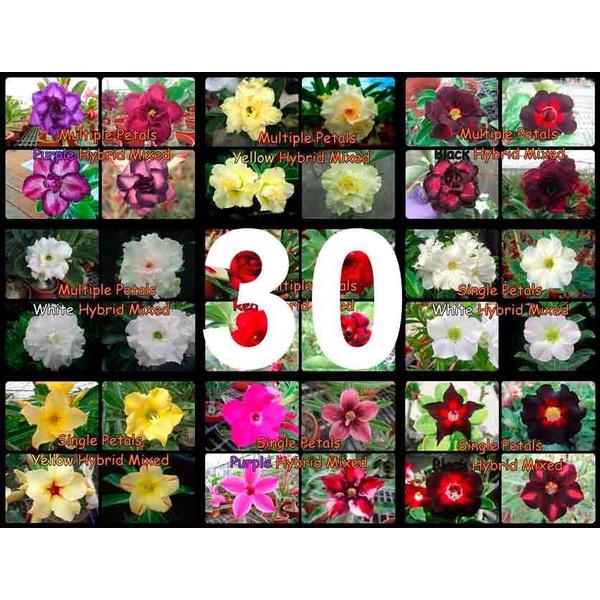kit mix 10 sementes MULTI PÉTALAS rosa do deserto cores sortidas